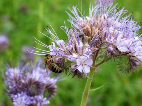 Honungsort