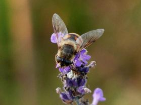 pollinering 5 Lind Lewin